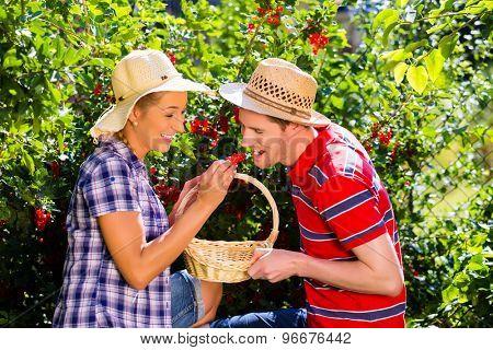 Couple harvesting berries in garden from bush