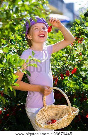 Child harvesting berries in garden from bush