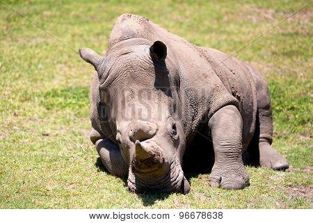A White Rhino In Safari Park, Australia