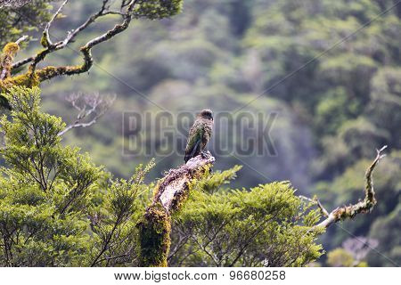 Kea Is A Parrot Native To The South Island Of New Zealand