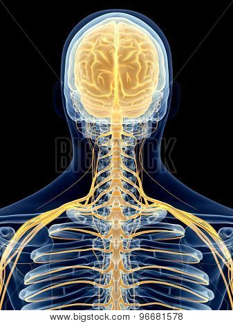 medically accurate illustration of the cervical nerves