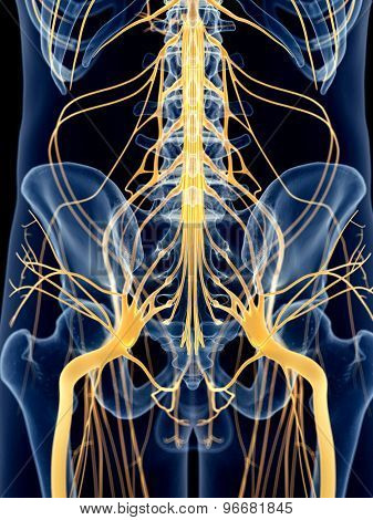 medically accurate illustration of the hip nerves