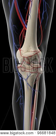 medically accurate illustration of the arteries and veins of the knee