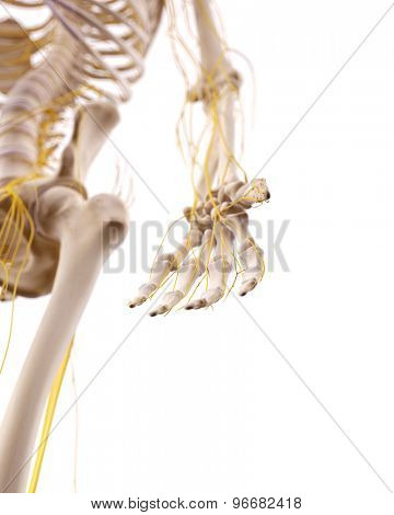 medically accurate illustration of the nerves of the hand