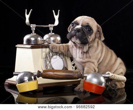French bulldog puppy and retro phone