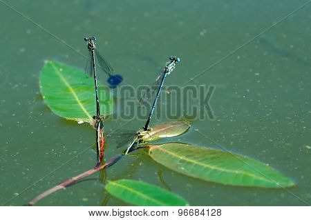 Dragonfly Sitting On The Aquatic Plant