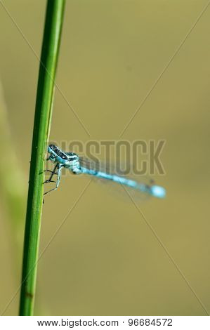 Blue Dragonfly Sitting On A Blade Of Grass