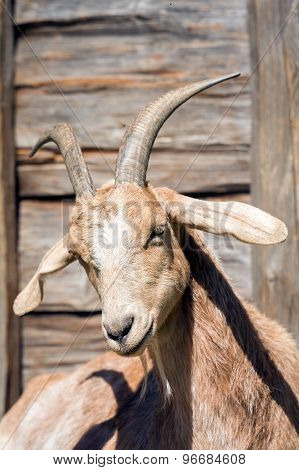 The Head Of A White Goat