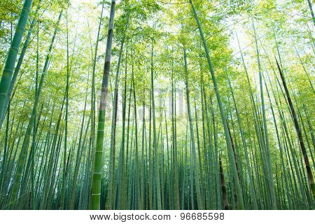bamboo forest with young green bamboos.  Intentionally short with high key sky,  .