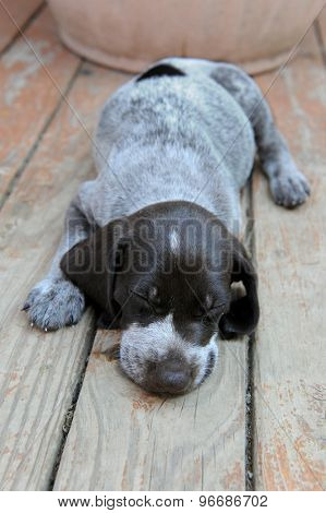 German Short Haired Pointer puppy sleeping on wooden deck
