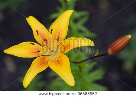 Yellow Lily Flowers In The Garden