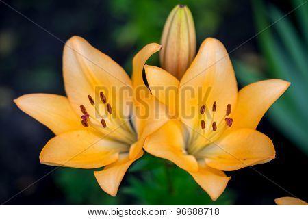 Two Yellow Day-lily Blossoms - Hemerocallis