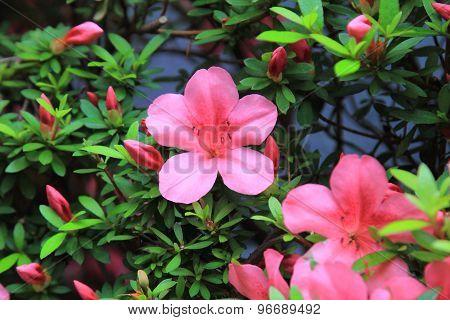 Pelargonium geranium group bright cerise pink flowers