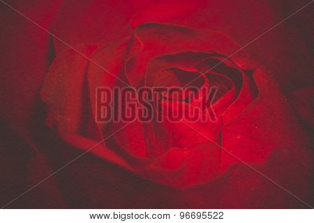 Red Rose Macro Retro