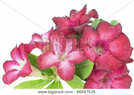 Group Of Red Azalea Flowers