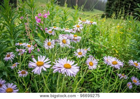 Mountain (leafy) Aster In The High Alpine