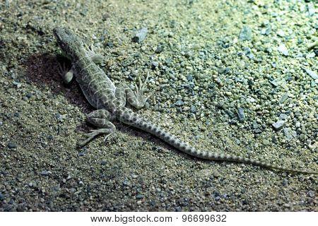 Long-nosed leopard lizard (Gambelia wislizenii). Wildlife animal.