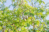 pic of tamarind  - Tamarind on tree in farm in Thailand - JPG