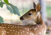 foto of stare  - Young white tail fawn seems to be staring at spider hanging just above its nose from leaves of fig tree.