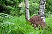 stock photo of big-foot  - Big ant hill at the foot of two birch trees on mountain meadow