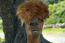 stock photo of furry animal  - An alpaca with a funny hairstyle - JPG