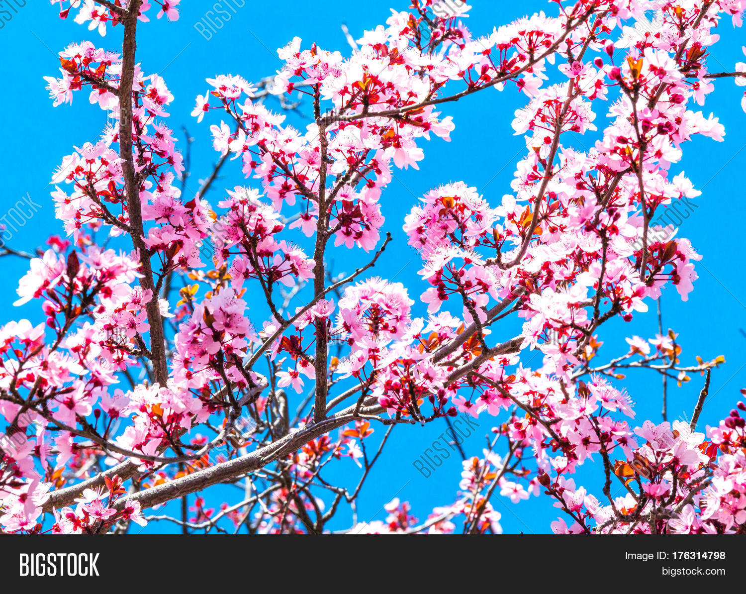cherry tree big and beautiful singles Every spring, cherry blossoms erupt across the globe, drawing nature seekers far  and wide to observe the stunning pale pink flowers in their.