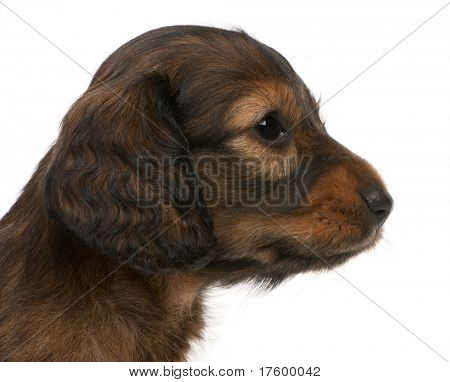 Close-up of Dachshund puppy, 5 weeks old, in front of white background