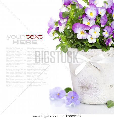 viola flowers in a pot with sample text