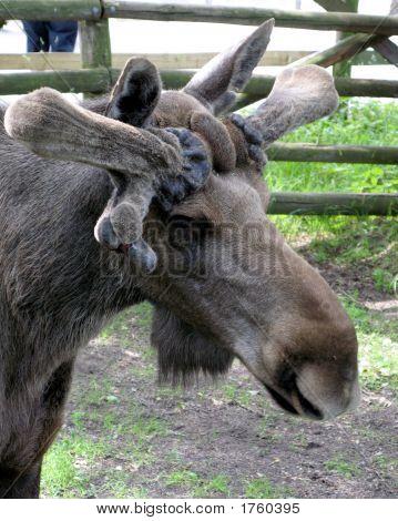 Elk_4