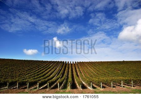 Vineyard - Landscape