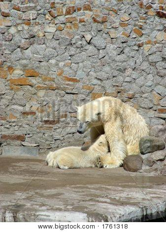 Bear Cub At The Breast