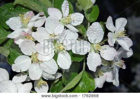 Flower Apple After A Rain
