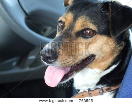 Dog, In Car