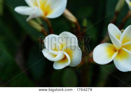 Flores tropicales del Paraíso,