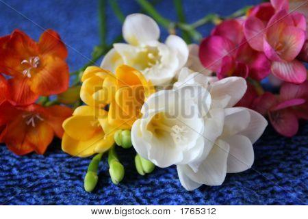 Colorful Freesias