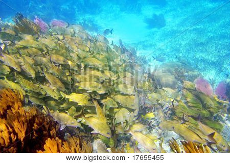 Caribbean sea reef yellow Grunt fish school Mayan Riviera mexico Haemulon flavolineatum