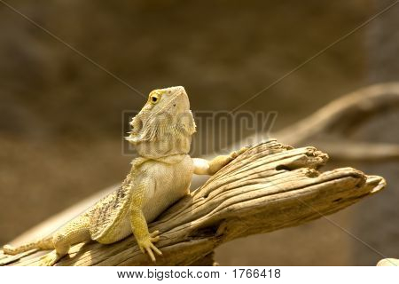 Bearded Dragon On A Stick