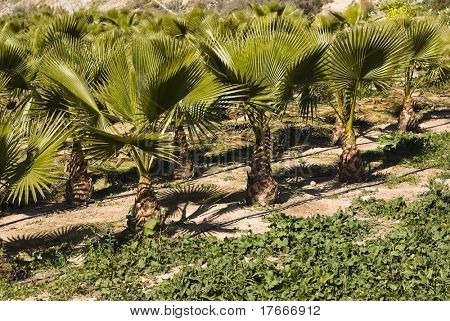 little palm trees