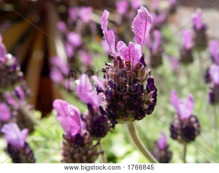 Fathead Lavender