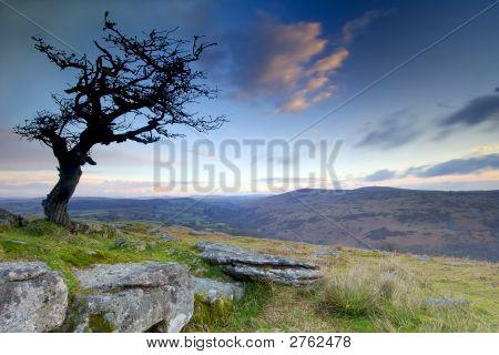 Dartmoor Hawthorn At Sunrise