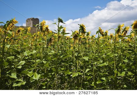 sunflwer field and the tower