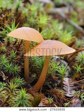 Betrüger Pilze