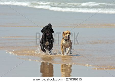 Two dogs at the beach running along the waterline