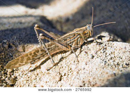 Grasshopper On Sand