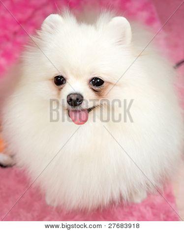 Cute Pomeranian White