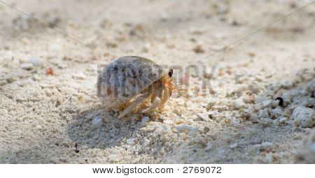 Pushy Hermit Crab