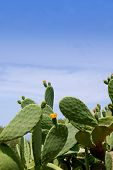 stock photo of nopal  - chumbera nopal cactus plant under mediterranean blue sky in Majorca - JPG