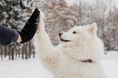 Handshake With White Dog. Owner With Pedigree Dog In The Forest poster