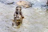 Elephants In The River Maha Oya At Pinnawala Elephant Orphanage poster