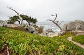 Large Boulders With A Twisty Cypruss Tree Along The Rocky Coastline Of California Near Monterey And  poster